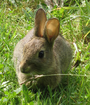 Picture of a young rabbit grazing