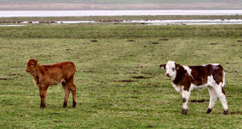 Picture of two calves