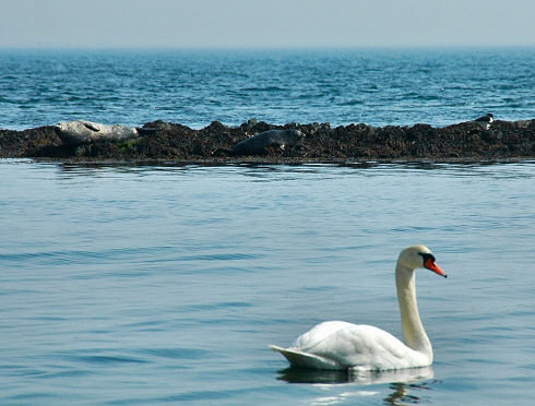 Picture of a swan, two seals and an oystercatcher