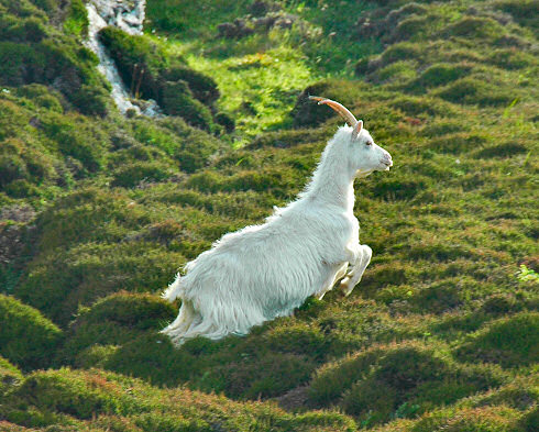 Picture of a wild goat jumping over some heather