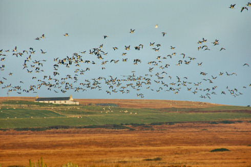 Picture of hundreds of geese flying over a field with a cottage in the distance