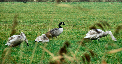 Picture of a Canada Goose with 3 young Swans