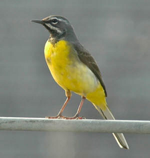 Picture of a grey wagtail, sitting on a metal rail