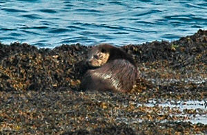Picture of an otter sitting on some seaweed near the water