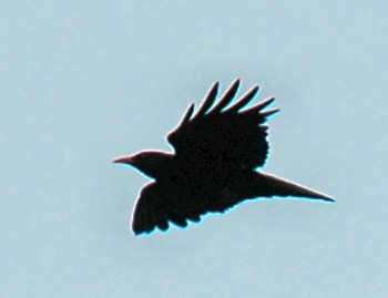 Picture of the silhouette of a chough in mid flight