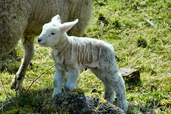 Picture of a very young lamb