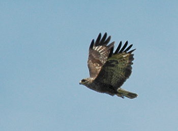 Picture of a buzzard in full flight
