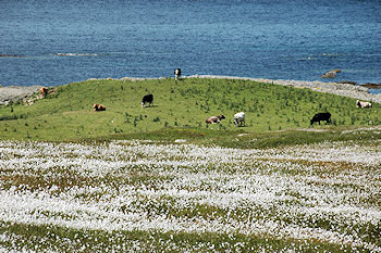 Picture of cattle grazing close to the sea shore, cotton grass in the foreground