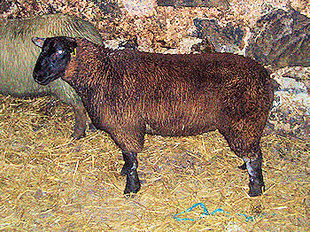 Picture of a brown lamb