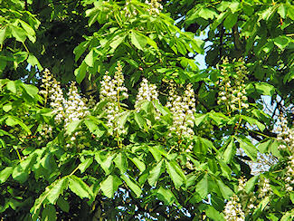 Picture of chestnut blossoms
