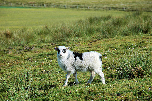 Picture of a lamb with black wool around both eyes, but otherwise mostly white