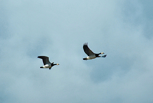 Picture of 2 Greenland Barnacle Geese in flight