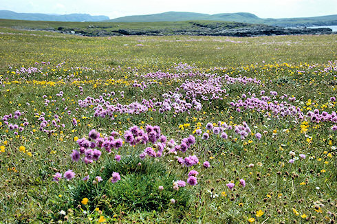 Picture of a colourful machair on Islay, hills and sea in the background