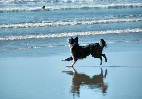 Picture of a border collie chasing a tennis ball on a beach, the ball in mid air