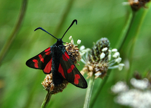 Picture of a Six-Spot Burnet Moth on some wild grass