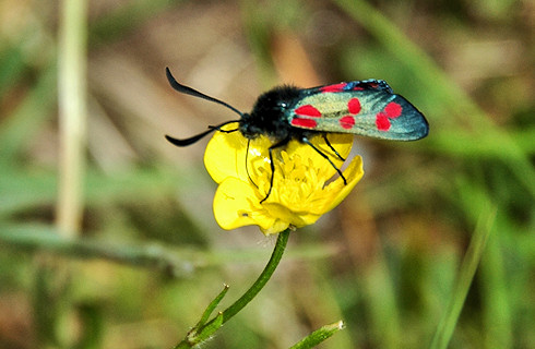 Picture of a Six-Spot Burnet Moth on a buttercup flower