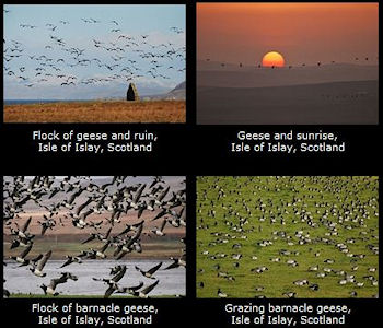 Screenshot of four pictures of Geese from a gallery