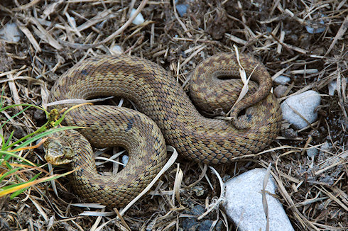 Picture of an Adder on dark earth ground