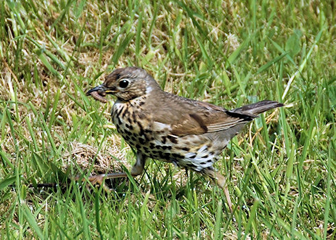 Picture of a Song Thrush with a worm in its beak