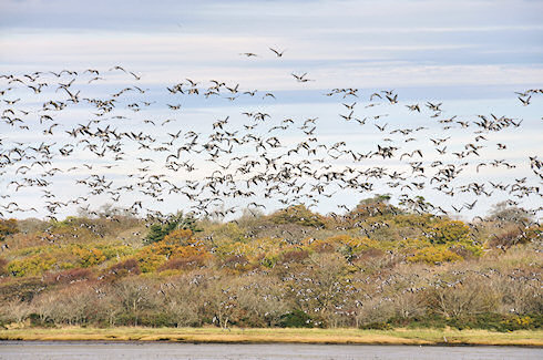 Picture of hundreds of Barnacle Geese flying in front of trees in their autumn colours