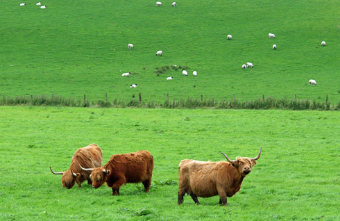 Picture of three Highland Cattle in a field, some sheep in the background