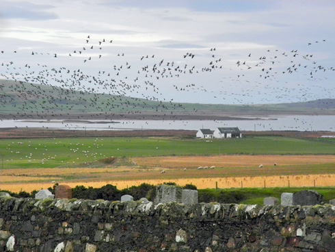 Picture of a sky full of Barnacle Geese in the Loch Gorm are of Islay