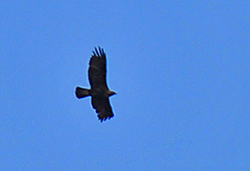 Picture of a Golden Eagle in flight