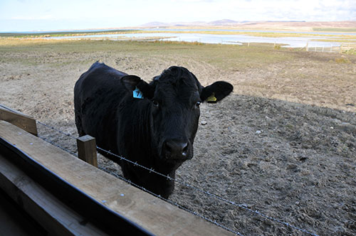 Picture of a slightly surprised cow seen from the window of a bird hide