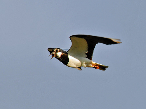 Picture of a Lapwing in flight, with its beak open