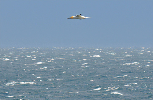 Picture of a Gannet in flight over a sea with many 'white horses'