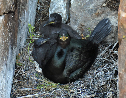 Picture of a Shag with its young in the nest