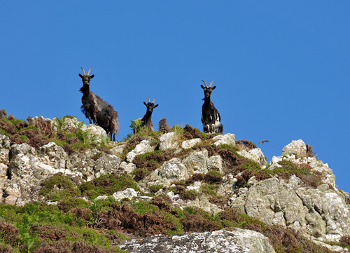 Picture of three goats on the top of some cliffs. A bird of prey is also in the picture