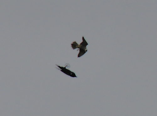 Picture of a Peregrine and a Raven