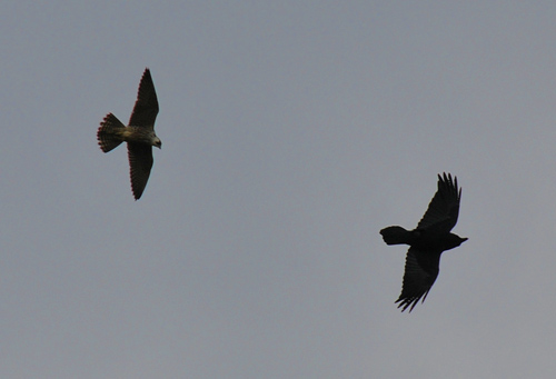 Picture of a Peregrine Falcon and a Raven
