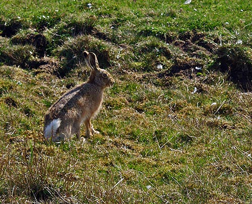 Picture of a Hare in the April sun