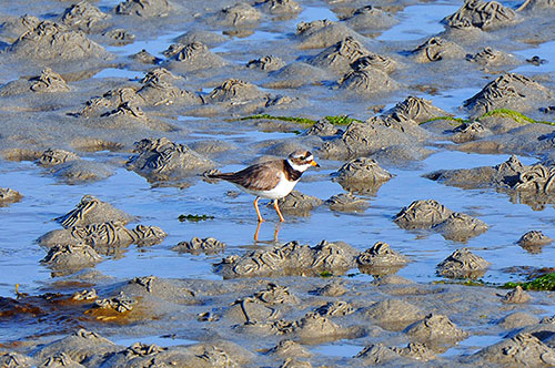 Picture of a Ringed Plover on