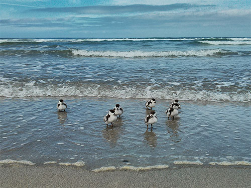 Picture of seven Shelduck ducklings on a beach