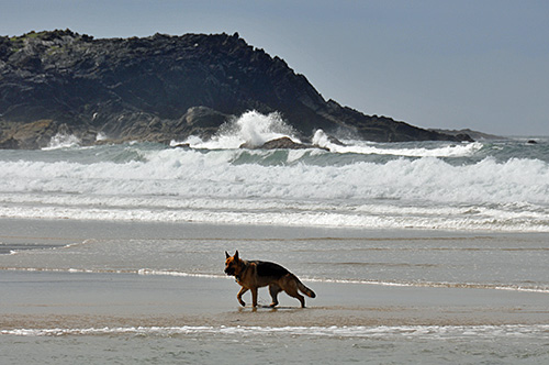 Picture of a German Shepherd dog on a beach, waves breaking in the background