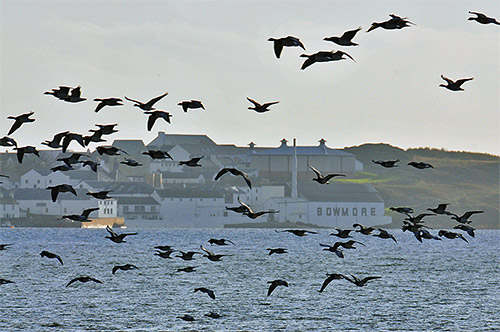 Picture of Barnacle Geese flying past a village with a distillery