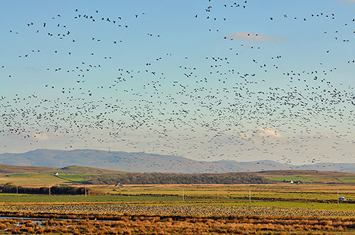 Picture of a huge number of Barnacle Geese on a nature reserve, both on the ground and in the air