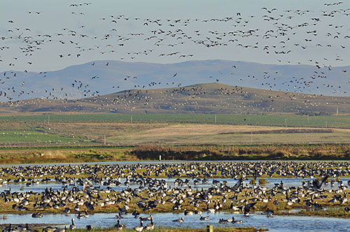 Picture of Barnacle Geese resting on wetland with many more in the air in the background