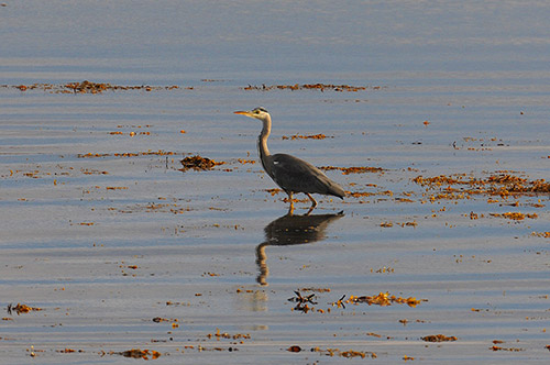 Picture of a Heron wading in shallow water near the shore of a sea loch