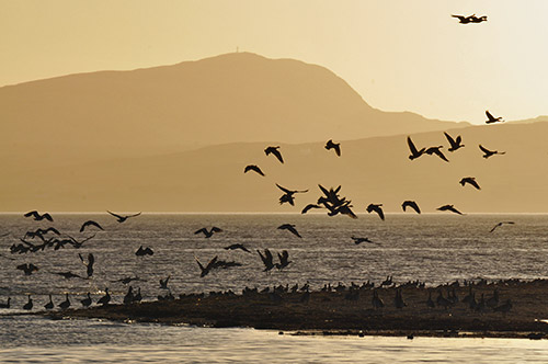 Picture of Barnacle Geese in the afternoon light, some lifting off, others sitting on the shore