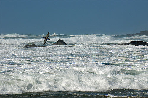 Picture of a Duck flying over breaking waves in a bay