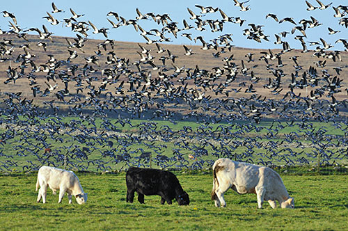 Picture of a large number of Barnacle Geese lifting off above three grazing cattle