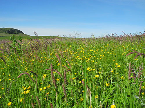 Picture of a field with high grass and flowers in bright sunshine