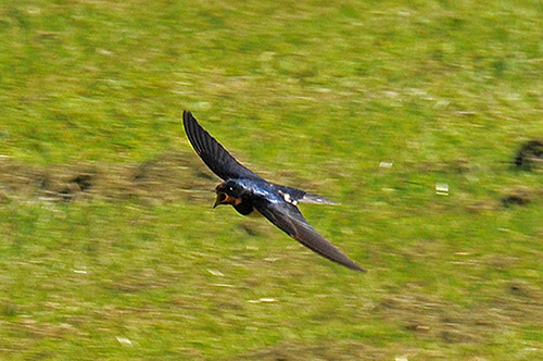 Picture of a Swallow in flight with its beak wide open