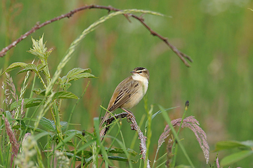 Picture of a Sedge Warbler