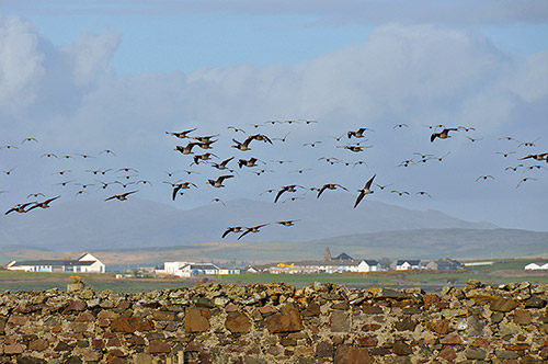 Picture of Barnacle Geese in flight over a wall, a village in the distance