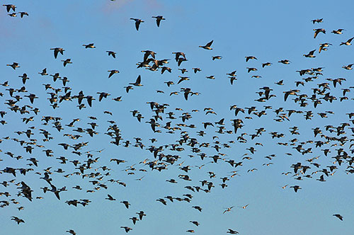 Picture of a large number of Barnacle Geese in flight